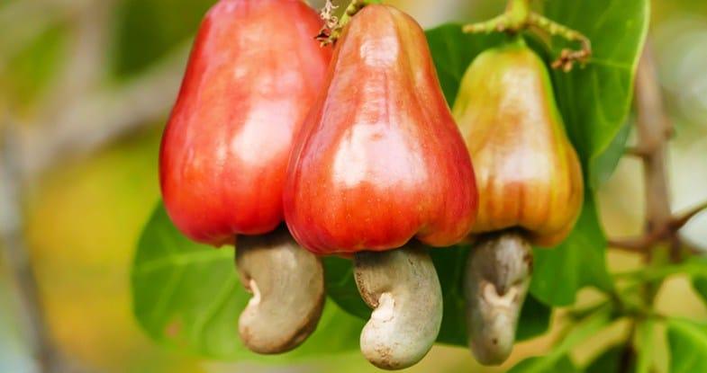 Marañón Fruta