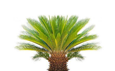 Sagú planta